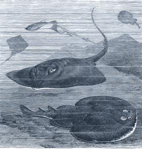 Razza comune e marmorizzata, torpedine o pesce elettrico (da R. Lydekker, The Royal Natural History, Londra 1896, Vol. V)
