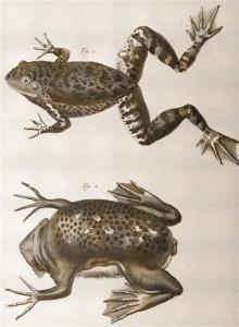 Rana bove e Rospo pipa (da Encyclopédie ou Dictionnaire raisonné..., Tavole di Histoire Naturelle)